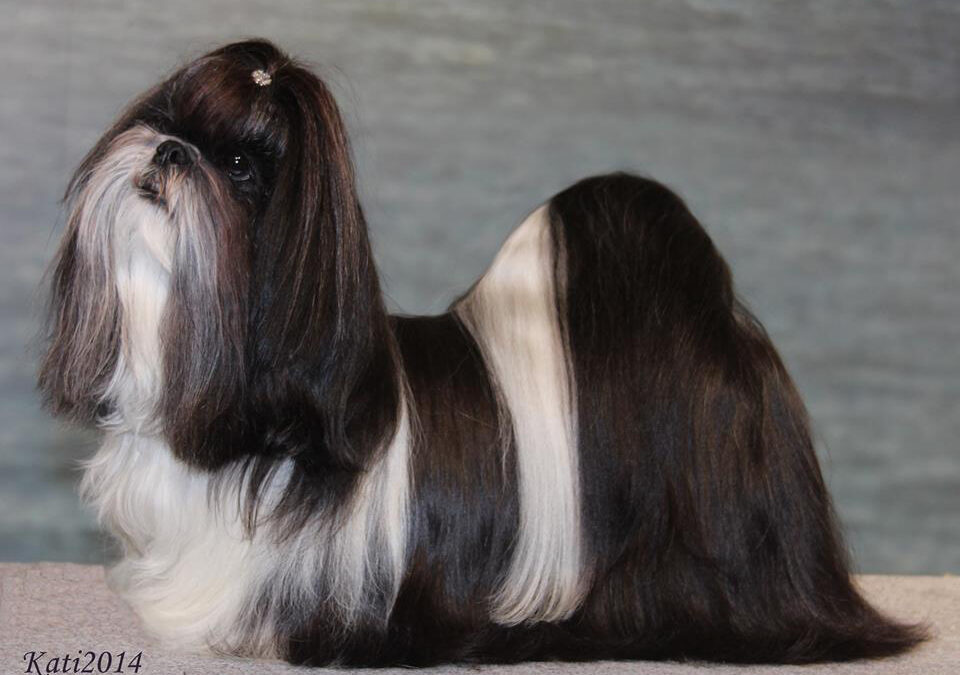 Kajsa still #1 Top Winning Shih Tzu