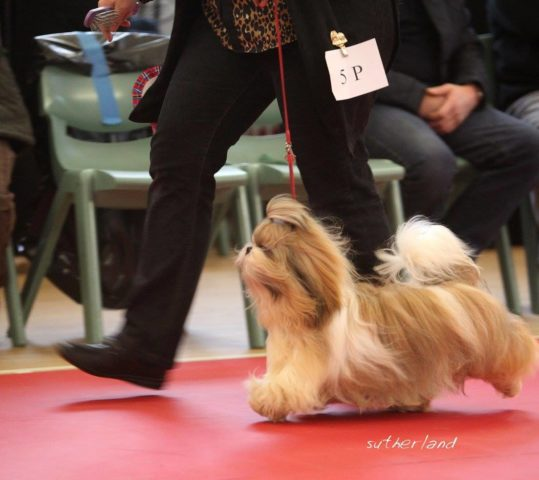 Ziggy Top Three @Top Open Show Puppy