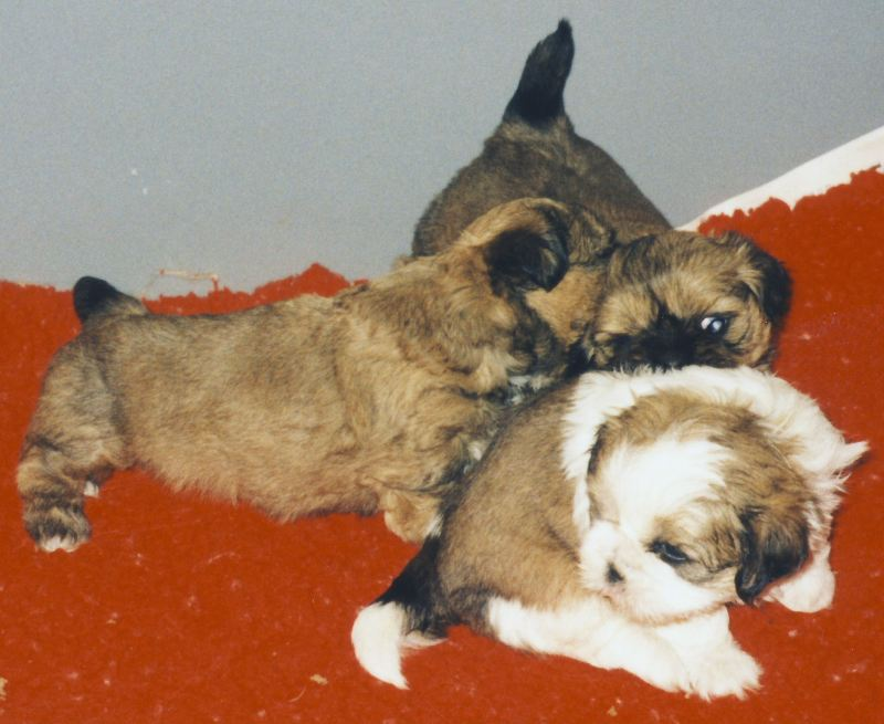 Puppies out of Fossella Cottoneyed Joe x Rosaril The Temptress